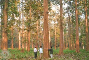 Plus-tree-selection-in-teak-Nilambur-Kerala_jpg